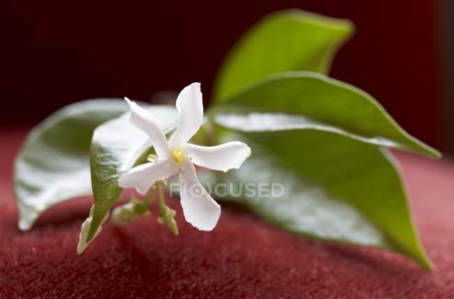 Крупным планом вид жасмина Веточка с цветок и листья — стоковое фото