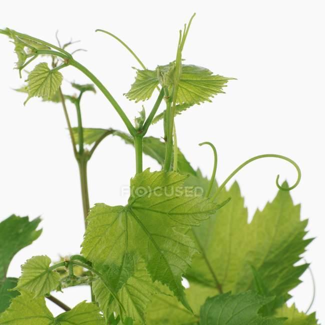 Green Vine foliage  on white background — Stock Photo