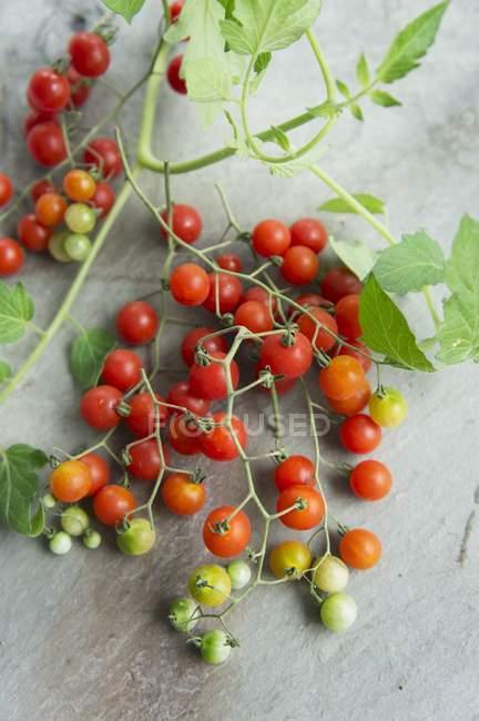 Смородина помидоры Lycopersicon pimpinellifolium — стоковое фото