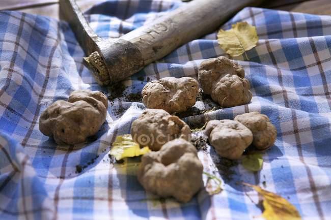 Frisch gepflückten Trüffeln — Stockfoto