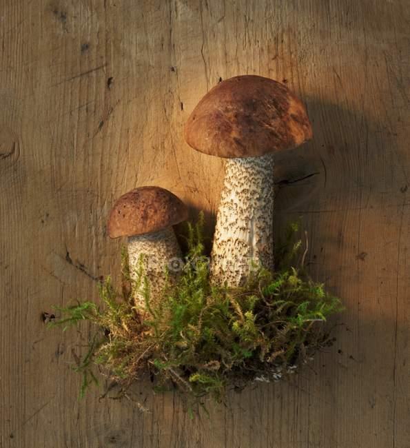 Birch Bolete Pilze mit Moos — Stockfoto