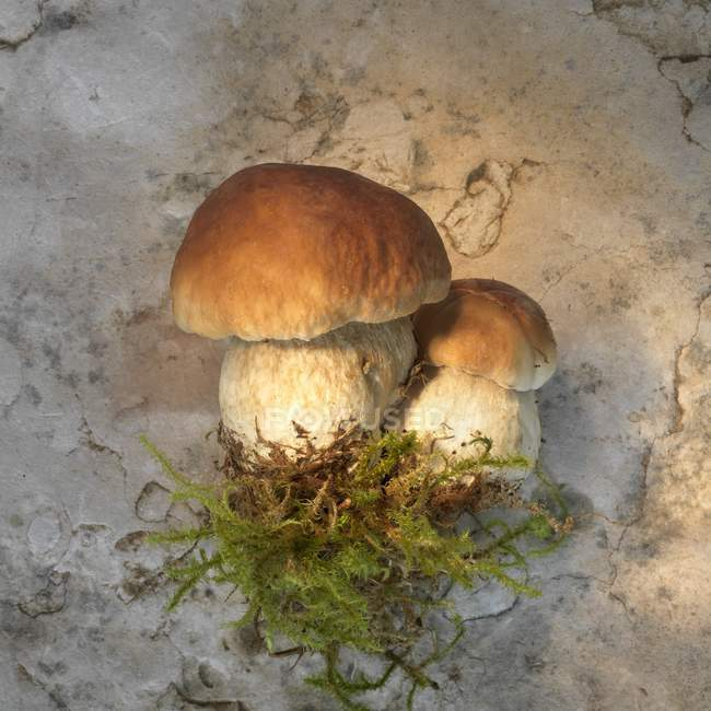 Porcini mushrooms with moss — Stock Photo