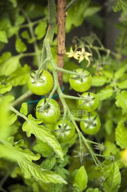 Незрілі зелені Помідори-чері — стокове фото