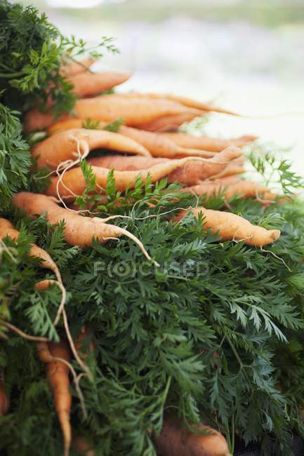 Heap of fresh Carrots with stalks — Stock Photo