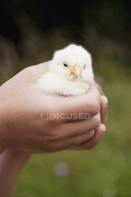 Vista del primo piano delle mani che tengono vivo pulcino — Foto stock