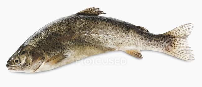 Frischer Forellenfisch — Stockfoto