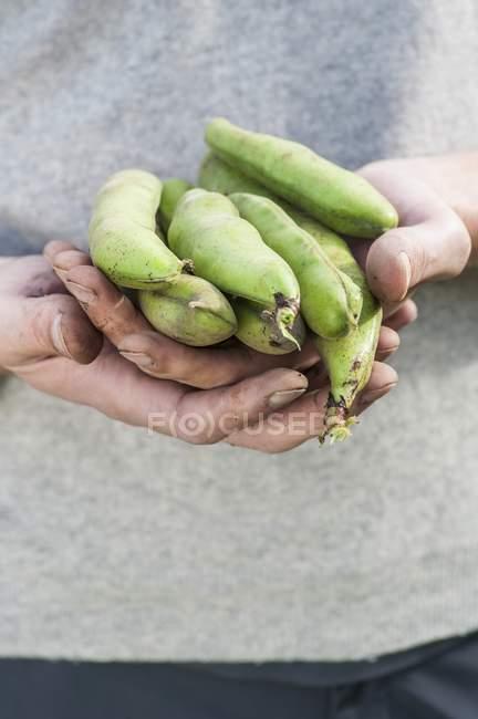 Mani femminili che tengono le fave — Foto stock