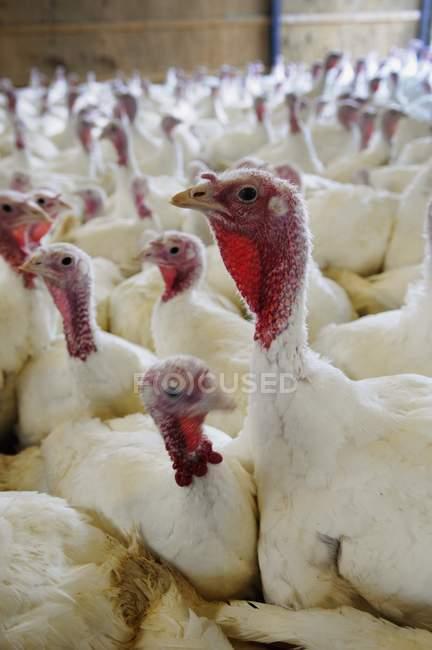 Vista del primo piano della folla di tacchini bianchi in una fattoria — Foto stock