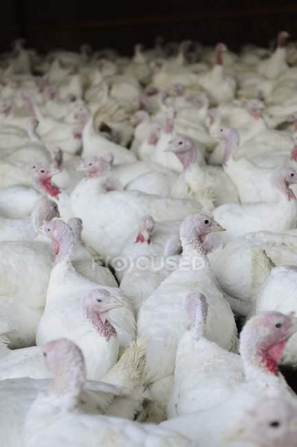 Повышенные вид белого индеек толпы на ферме — стоковое фото