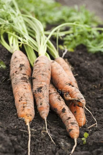 Свежесобранная морковь — стоковое фото