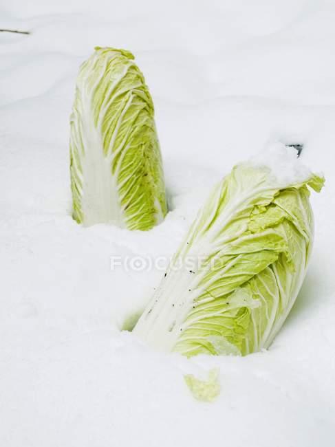 Cavoli cinesi nella neve — Foto stock