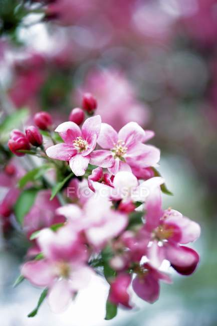 Closeup view of blossoms on an apple tree branch — Stock Photo