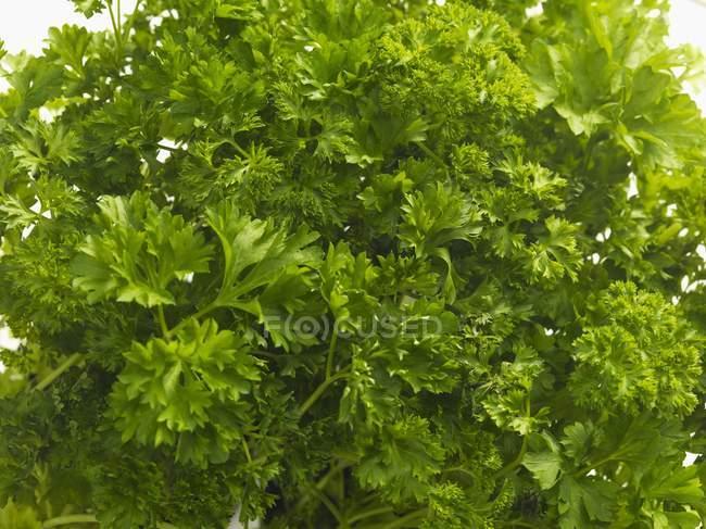 Frische grüne Petersilie — Stockfoto