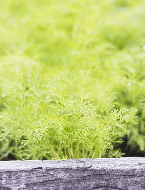 Dill growing in garden — Stock Photo