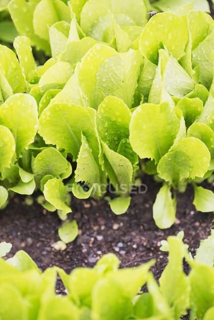 Ромэн, растущего в саду — стоковое фото