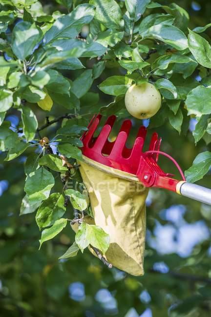 Дневной вид apple на дерево ветвь и фрукты комбайн — стоковое фото