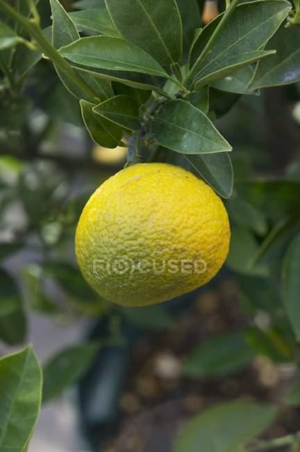 Крупным планом вид плодов юзу на Буша — стоковое фото