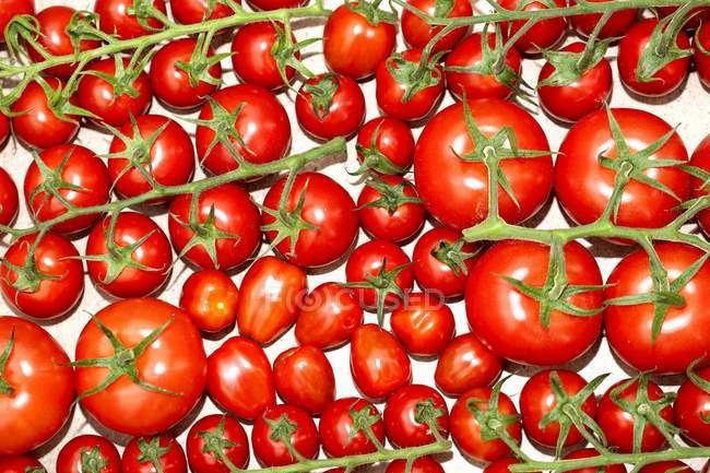 Various vine tomatoes — Stock Photo