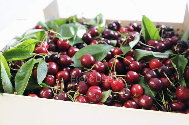 Fresh picked Cherries with leaves — Stock Photo