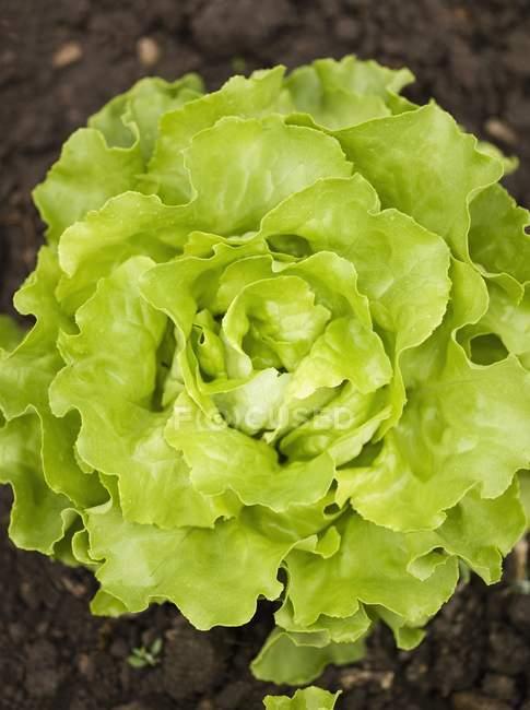 Салат, растущего в саду — стоковое фото
