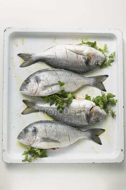 Sea bream fish with parsley — Stock Photo