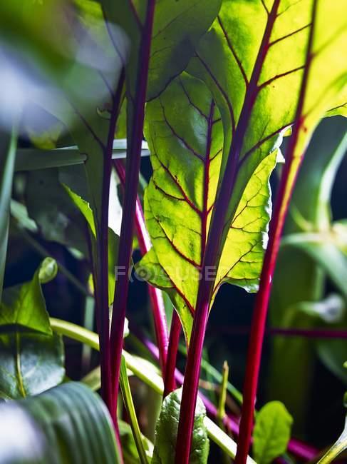 Свекла листья в поле на открытом воздухе в дневное время — стоковое фото