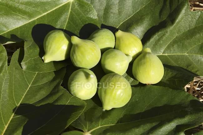 Зелений ФПГ на фігових листя — стокове фото