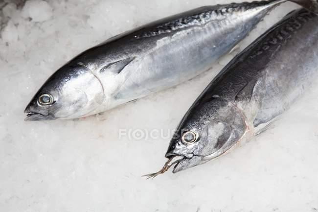 Zwei ganze rohe Thunfische — Stockfoto