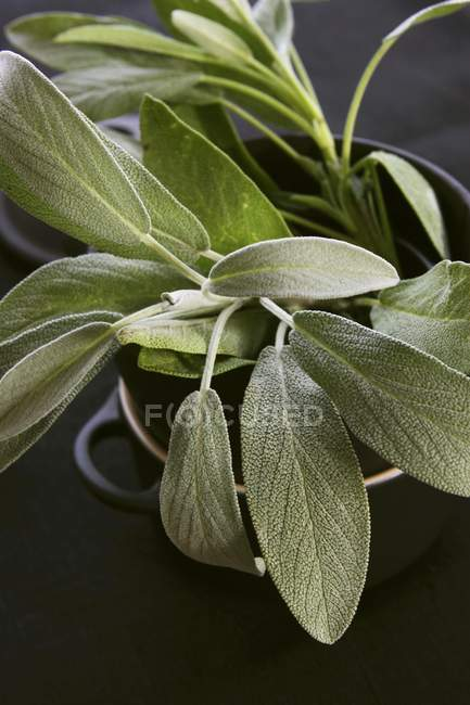 Fresh sage in pot — Stock Photo