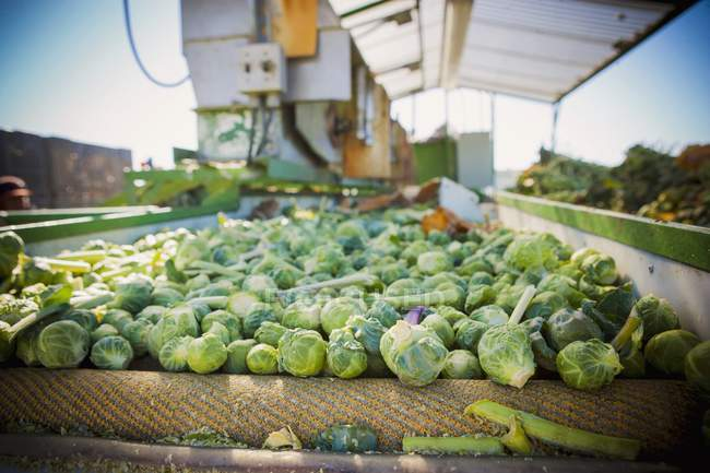Freshly harvested sprouts — Stock Photo