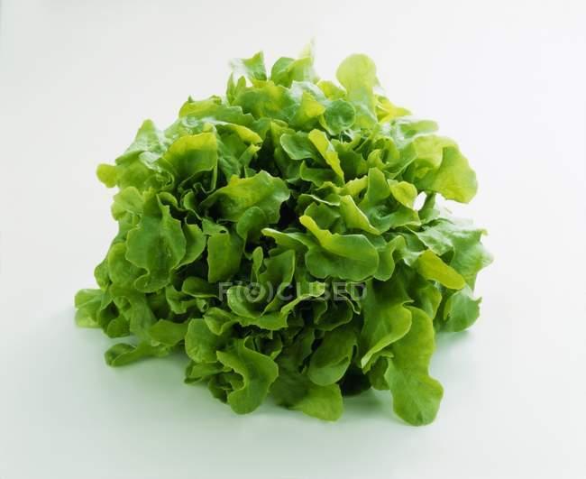 Fresh Green oak leaf lettuce — Stock Photo