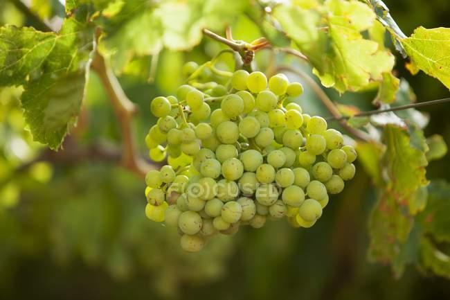 Uvas crescem em planta — Fotografia de Stock
