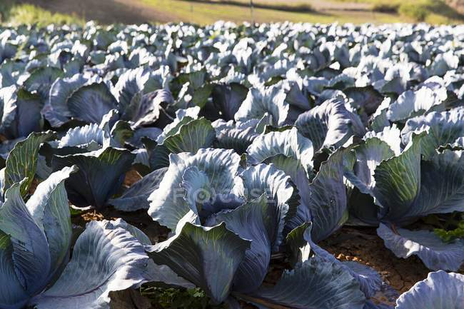 Red cabbages growing in field — Stock Photo
