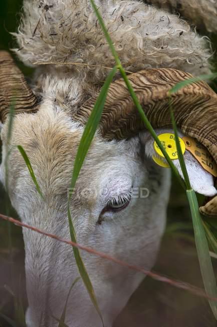 Detailansicht eines Schafes mit einer Ohrmarke — Stockfoto