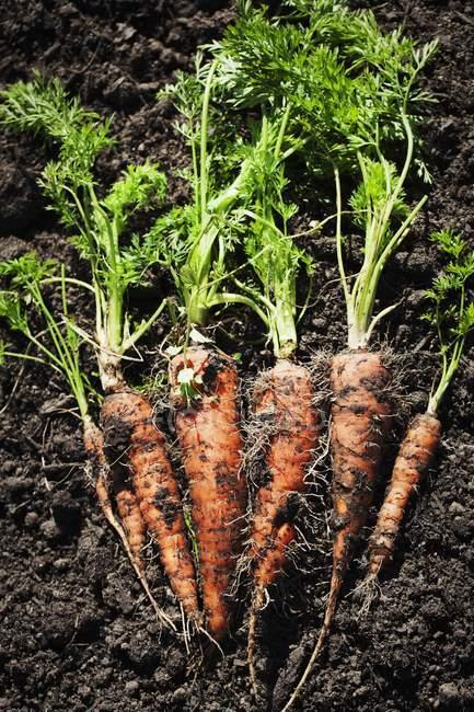 Freshly harvested carrots — Stock Photo