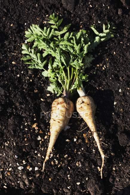 Freshly harvested parsnips — Stock Photo