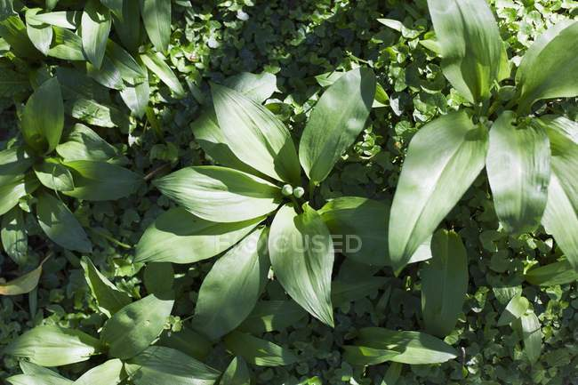 Wild garlic growing in garden — Stock Photo
