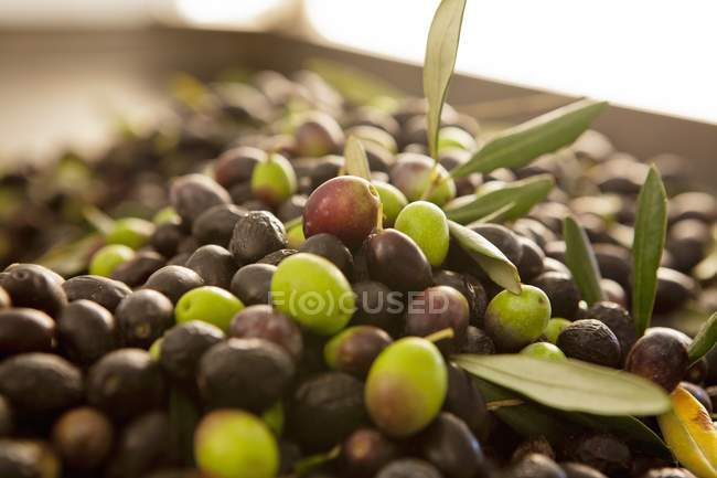 Freshly harvested green and black olives — Stock Photo