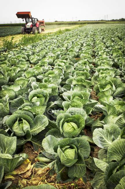 Tractor in cabbage field — Stock Photo