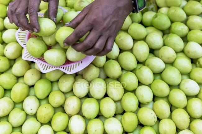 Руки, сортировки фруктов Зизифус настоящий — стоковое фото