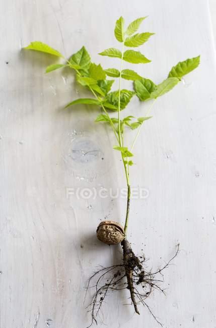 Ansicht einer Pflanze, die aus einer Walnuss auf einer Holzoberfläche sprießt — Stockfoto