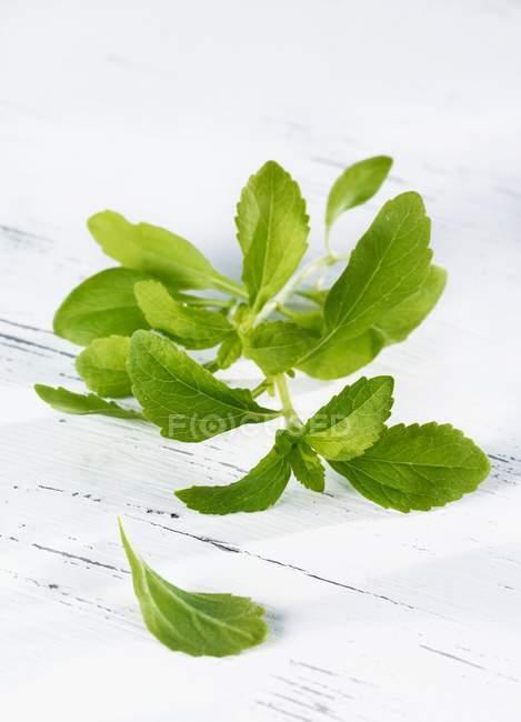 Вид крупным планом на зеленую веточку Стевии на белой деревянной поверхности — стоковое фото