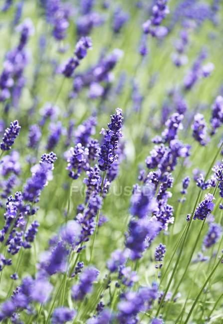 Крупним планом денного зору Бузкове цвітіння рослин — стокове фото