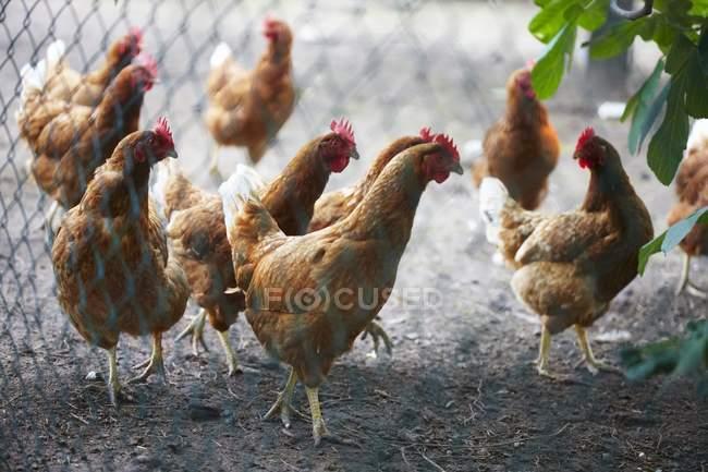 Vista di giorno di polli a piedi in coop — Foto stock