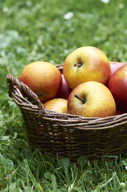 Basket of fresh apples — Stock Photo