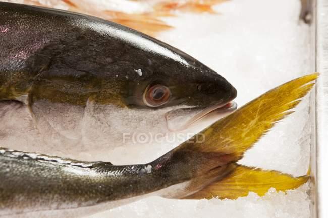 Frischer Gelbschwanzfisch — Stockfoto