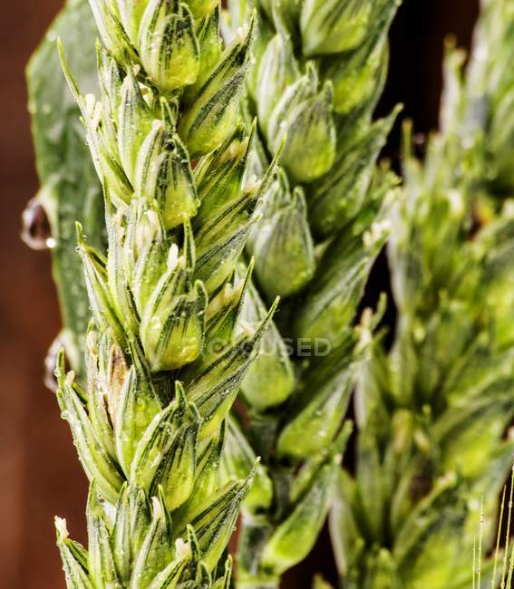 Closeup view of green wet ears of cereals — Stock Photo