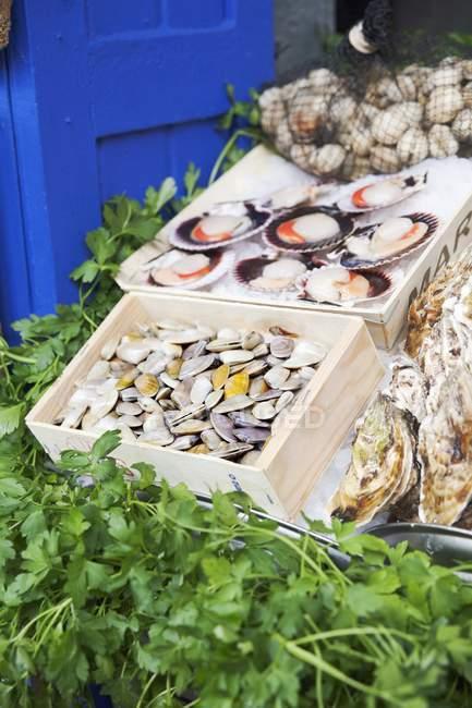 Palourdes, pétoncles et persil sur l'étal de marché — Photo de stock