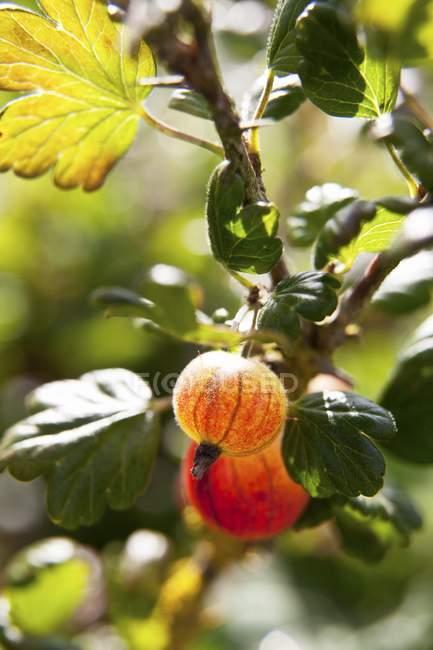 Groselhas vermelhas crescendo em bush — Fotografia de Stock
