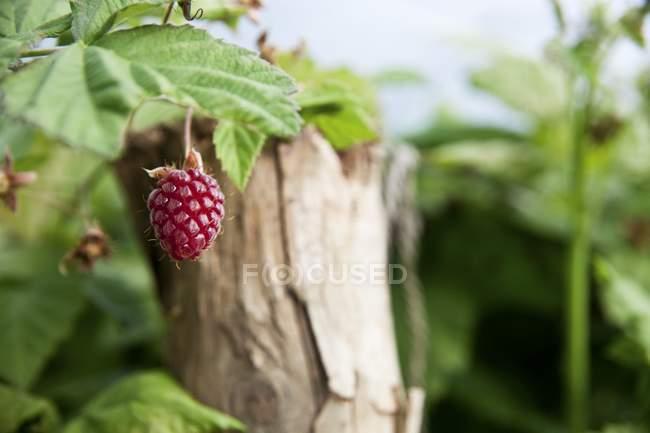 Loganberry crescendo em bush — Fotografia de Stock